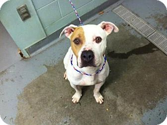 Tacoma, WA - American Staffordshire Terrier Mix. Meet HAM, a dog for adoption. http://www.adoptapet.com/pet/17764435-tacoma-washington-american-staffordshire-terrier-mix