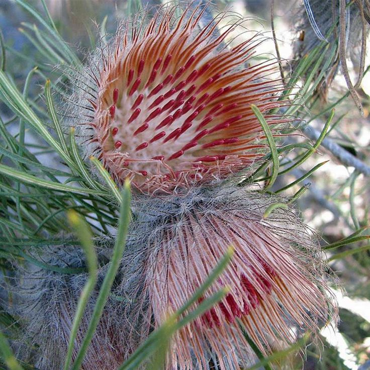 BANKSIA splendida. Native to Western Australia. Flowers have a pungent sweetish scent similar to that of many species of Banksia, there are two subspecies, with both yellow and maroon flowered plants occurring in each subspecies.