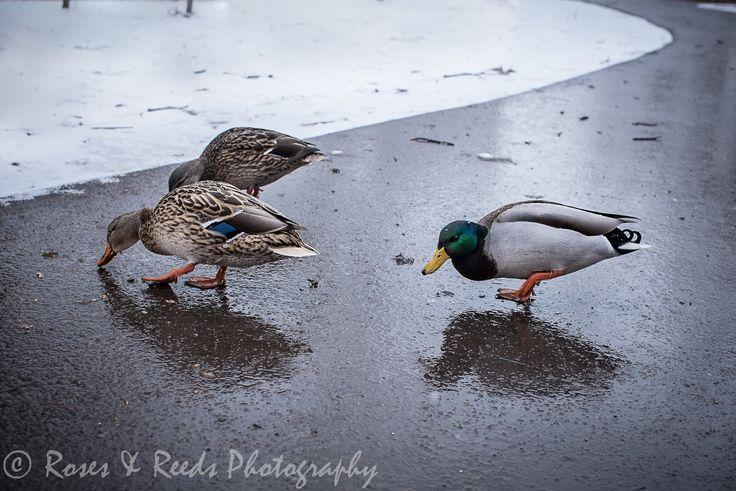 Feeding the ducks. Leading the eye through vignetting.