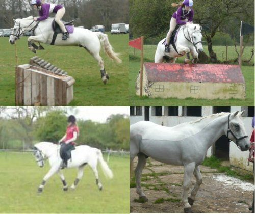 14.1hh NF gelding. Rowdown Cobweb is a 12 year old, grey, 14.1hh, New Forest gelding. He has competed in show jumping, cross country and dressage, has also hunted, been shown and done pony club. Good in traffic and with other horses.