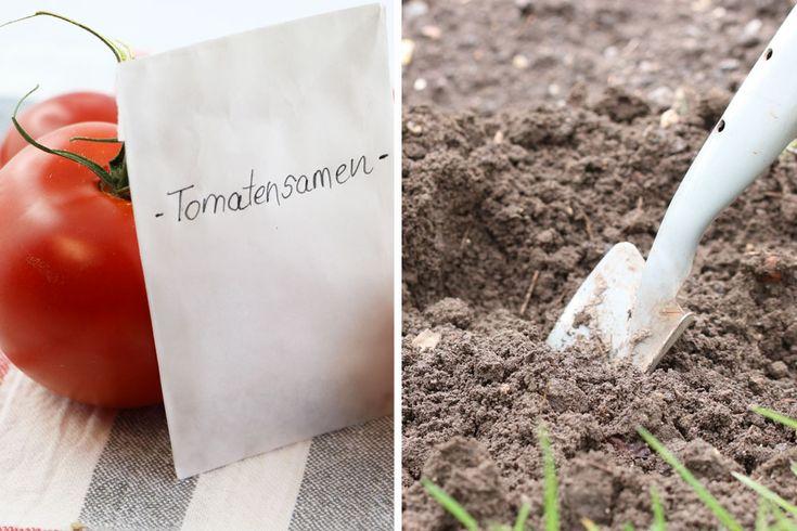Tomaten säen – wann ist der ideale Zeitpunkt?