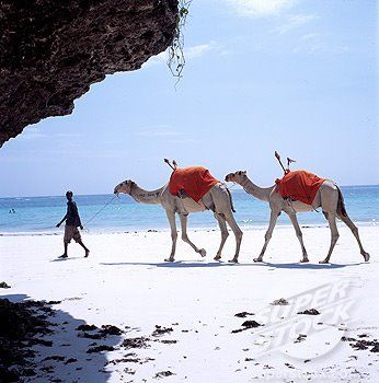 Camels on the beach in Mombasa, Kenya