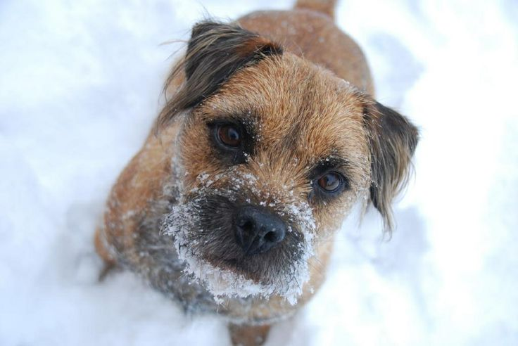 Border terrier in the snow