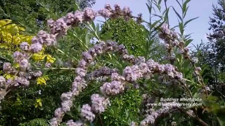 d   9/17   Buddleja alternifolia (Weeping Butterfly Bush aka 'fountain' buddleia)