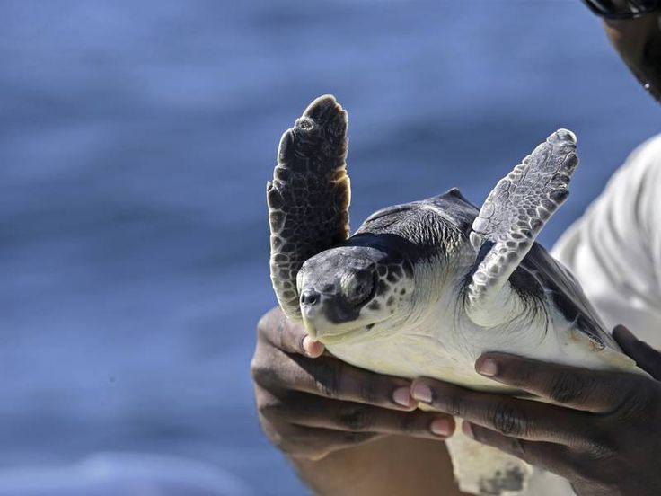 200 Endangered Sea Turtles Rescued Off Cape Cod | Martha's Vineyard, MA Patch