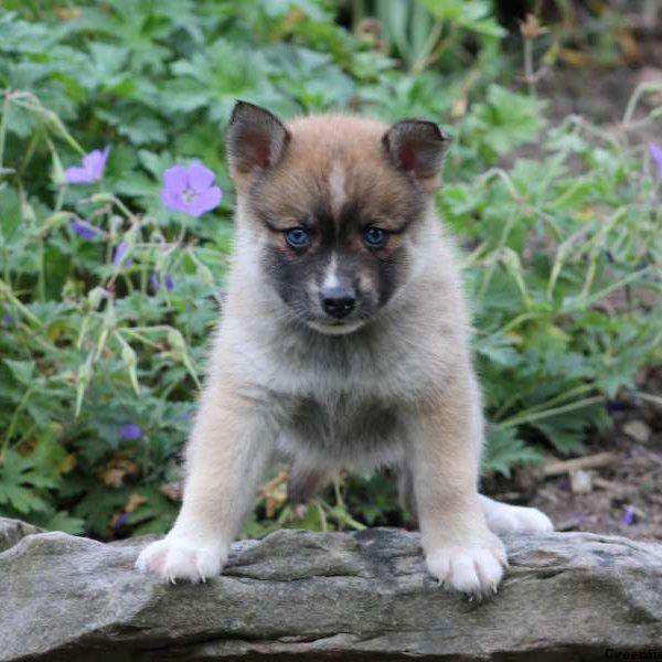 Bella, Pomsky Puppy