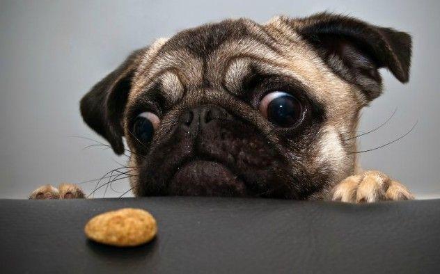 pug pug pug: Cookies Monsters, Funny Pugs, Pet, Pugs Dogs, Cute Pugs, Puppy, Funny Animal, Pugs Life, Eye