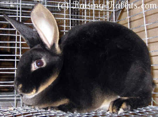 Rexall-rabbit-breeds-rex        Senior Weight: 7 ½ - 10 ½ pounds      Type: Commercial      Color: Amber, black, blue, broken, Californian, castor, chinchilla, chocolate, lilac, lynx, opal, otter, red, sable, seal, white      Distinctive: Rex fur