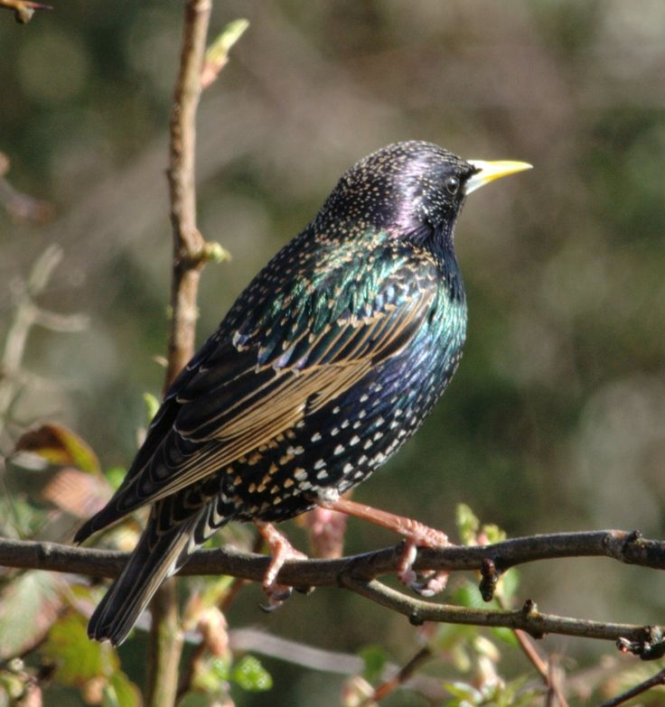 Common Starling, widespread throughout northern hemisphere