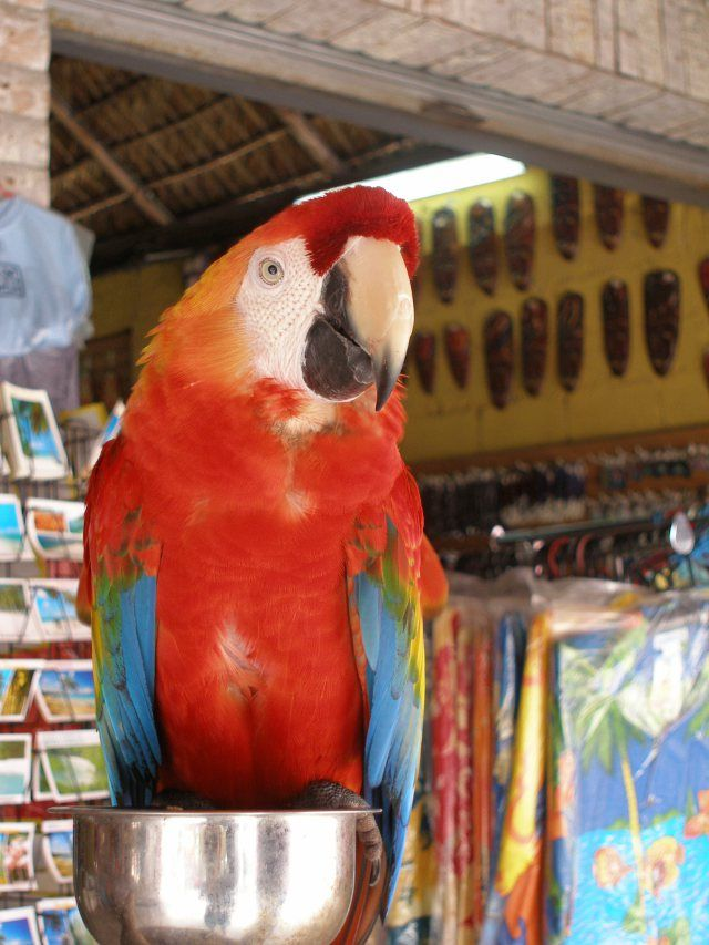 Dominican Republic: Boca Chica colourful parrot
