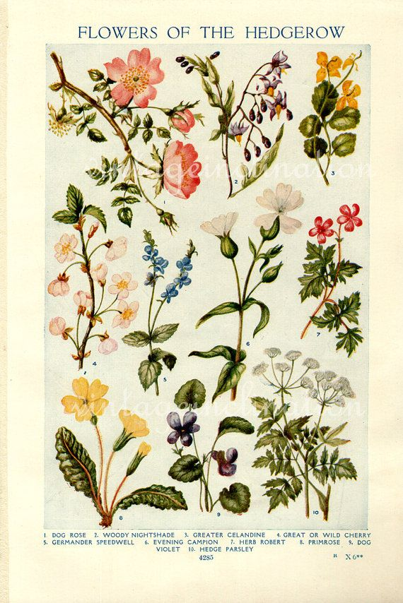 Vintage Botanical Prints - Flowers of the Hedgerows - 1933 bookplate for framing