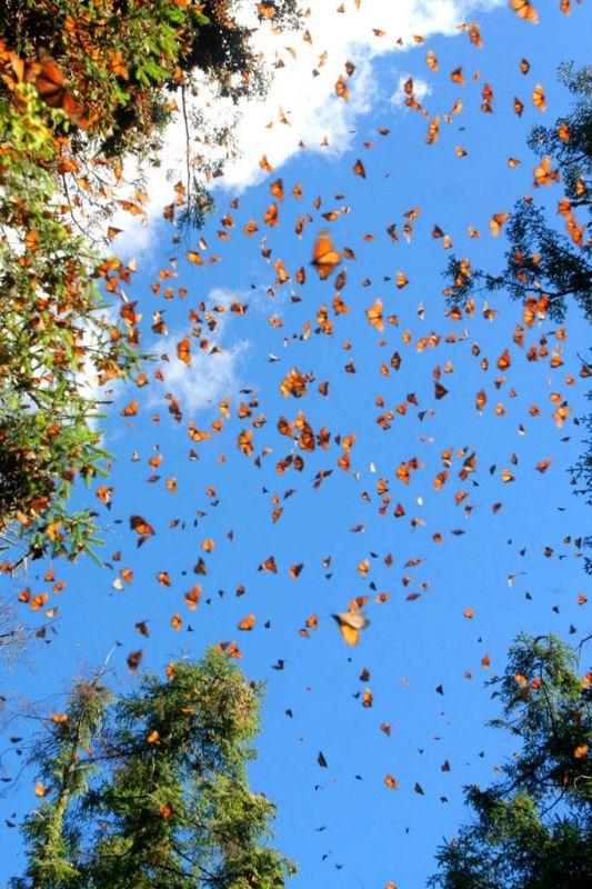 I love the monarcas