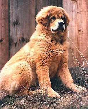This picture made me buy my first tibetan mastif