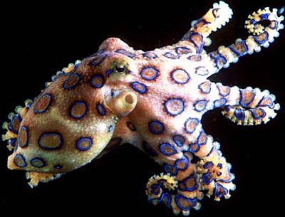 Bohemian octopus! It's a Blue Ring Octopus. It's the most poisonous animal in the world. In its body it carries enough venom to kill 26 adults. It's pretty though.