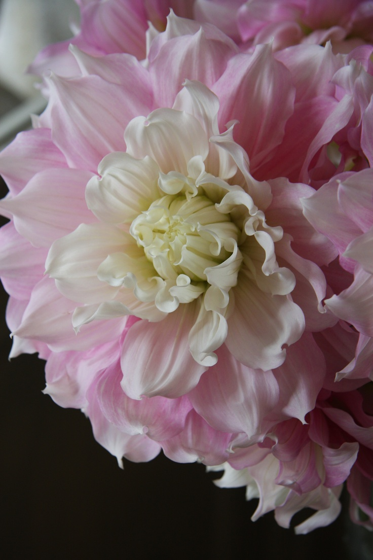 best peonies u dahlias images on pinterest flowers pretty