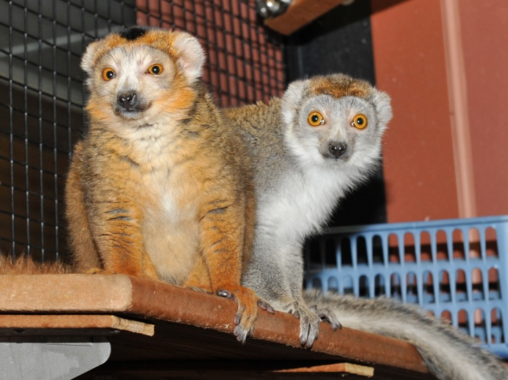 Mosi and Seshat, a young pair of crowned lemurs at the Duke Lemur Center.