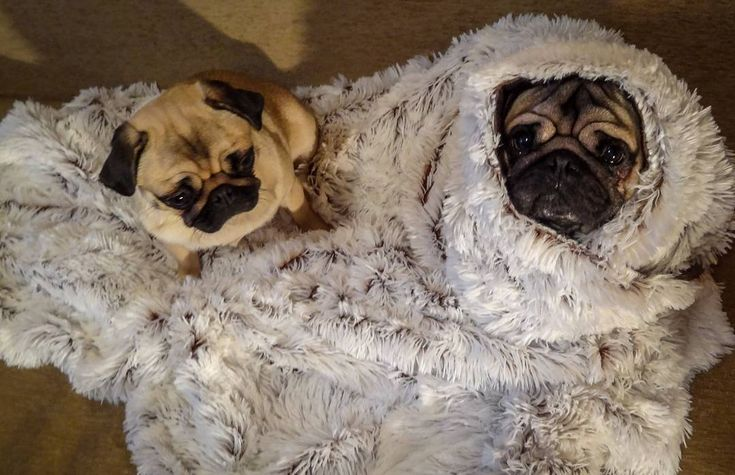 We all have that one friend that is always cold   Tag him below ⬇  #mauricethepug #bubble #queenb #cold #friend #coldfriend #alwayscold #brrr #blanket #fluffy #winter #freez #romania #tirgumures #puglife #pugchat #pugstory #pug #mops #dog #puppy
