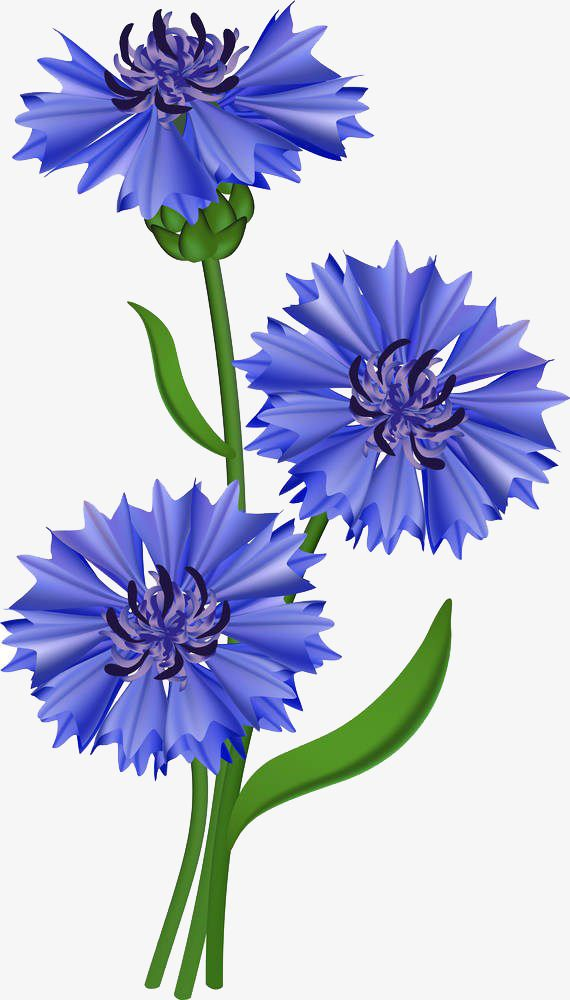 Cornflower Illustration Blue Daisy Wild Chrysanthemum Blue Hibiscus Cui Lan Hand Painted Leave The Material Wil Watercolor Flowers Flower Painting Blue Flowers