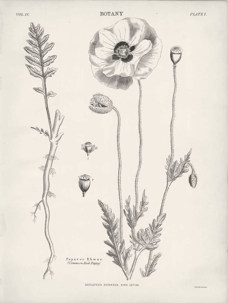 1882 Botany Common Red Poppy Drawing