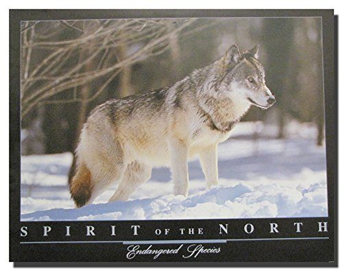 Look Wow! Let your imagination take you into this beautiful grey wolf standing in snow animal art print poster. This amazing piece of art is a great addition for your home decor. It will surely express your passion for wildlife animals. What are you waiting for grab this charming poster for its high quality gloss finish paper with archival quality inks which ensures long lasting beauty and color fading.
