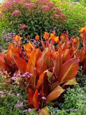 55 best tropicanna cannas images on pinterest backyard ideas container garden and garden ideas. Black Bedroom Furniture Sets. Home Design Ideas