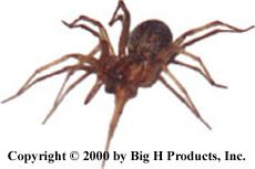 HoboSpider.com- Poisonous Hobo Spider and Brown Recluse Spider Information and Big H Spider Traps.