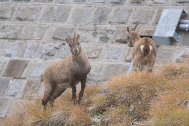 Giovani stambecchi (foto di M.Canziani) alla diga del Baitone, in Val Malga (www.uomoeterritoriopronatura.it).