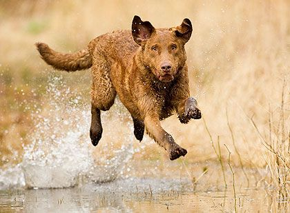 Awesome photo of a Chesapeake bay retriever. This is what we think Harley is. Mostly. Hard to know for sure, of course.