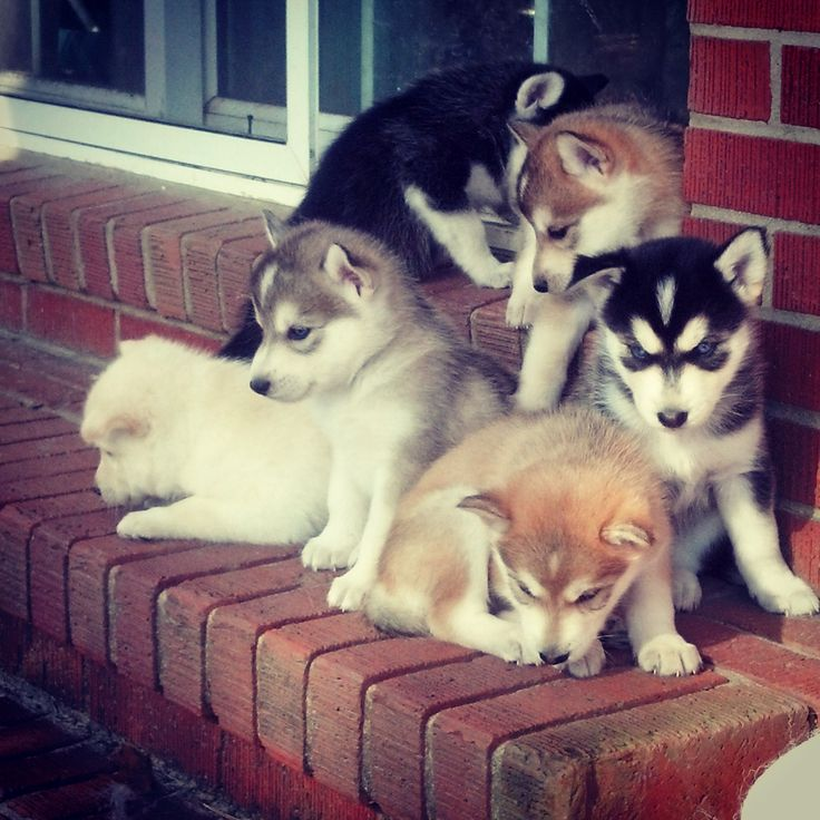 Porch of furry husky puppies