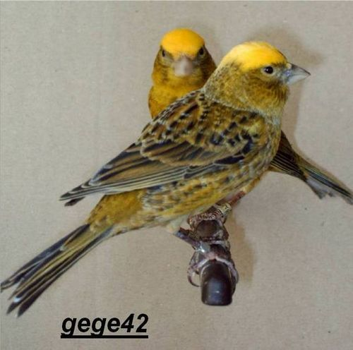 Oiseaux, Canaris (de Posture) : Canari Lizard