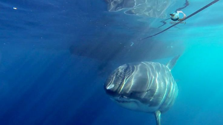 A new video showing a pregnant, 20-foot-long great white shark may be the largest of its kind ever to be caught on camera.