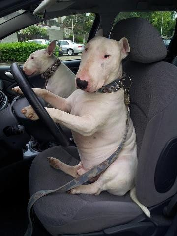 Bull Terriers going for a ride
