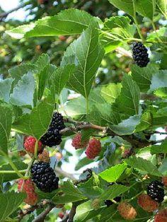 Les mûriers : des arbres aux multiples usages : La famille des mûriers (genre Morus) comprend plusieurs arbres d'entretien facile. Le mûrier blanc, le mûrier noir et le mûrier platane sont les plus courants dans les jardins. Tous ont des atouts et des usages divers.