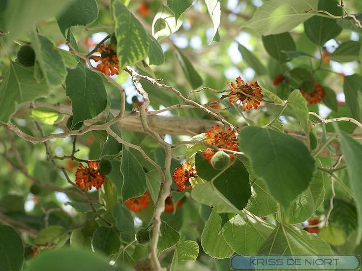 http://faaxaal.forumgratuit.ca/t2227-photo-d-arbre-murier-a-papier-murier-d-espagne-broussonetia-papyrifera-paper-mulberry