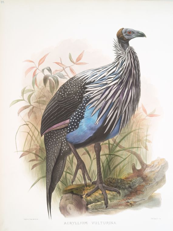 1871 Canada Goose'  Antique Bird Print Matted - Morris Hand