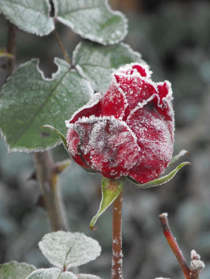 I took this photo last Winter, love how the red survives under the frost