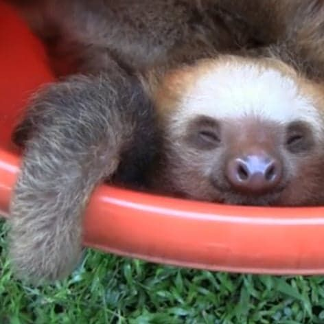 Pin for Later: Cute Animal Video of the Day: Bucket of Sloths!