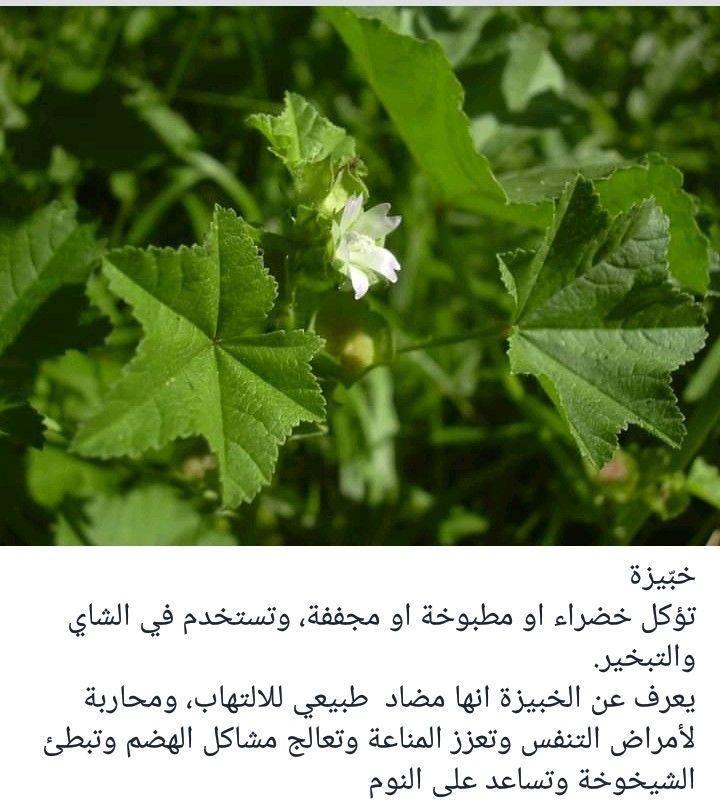 Pin By Hassan Tarhini On Flowers And Plants In South Lebanon ازهار ونباتات في جنوب لبنان Herbs