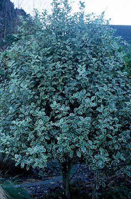 Pittosporum 39 garnettii 39 v agm dense bushy medium sized for Small sized evergreen trees