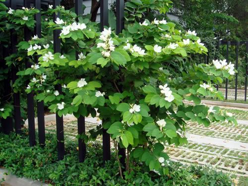 Bauhinia acuminata google suche garten plants for Pflanzengestaltung garten