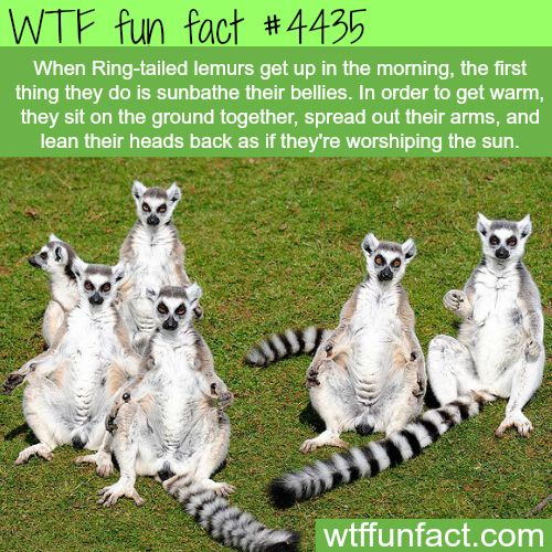 Best Madagascar Facts Ideas On Pinterest Tiger Facts Lions - 8 cool facts about madagascar