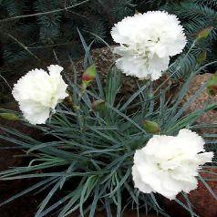 EN JUIN : Dianthus plumarius 'Haytor White' Feuillage semi-persistant. Port Tapissant. Sol calcaire et sec