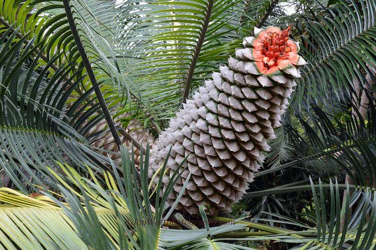 Lepidozamia peroffskyana cone