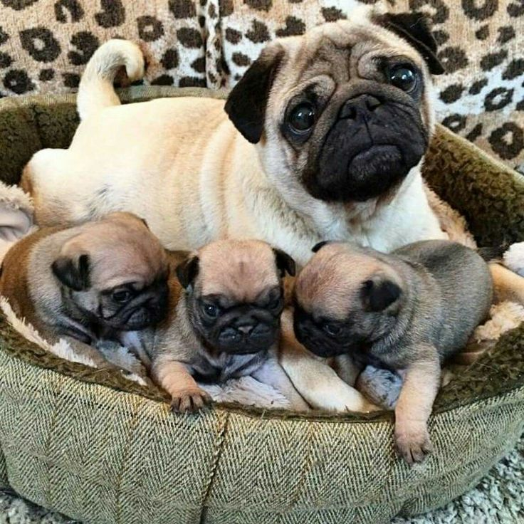 """This picture is cute because it's showing the momma and her babies!!! All the little nugget pugs look so cute and the mom is kinda just like """"yeah I made these! heck yeah!"""""""