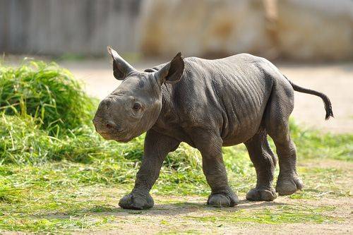 baby black rhino | Cute Little Pickles | Pinterest