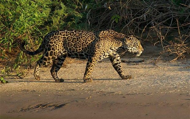 The jaguar is a genuine big cat, because it growls and because it is big. Globally, it is third in size after the lion and tiger, but has the strongest bite of any cat. It employs its powerful jaws to crush the skulls of capybara, caiman and cows. This last detail is one of the reasons Pantanal farmers kill jaguars. Habitat loss, fires and some hunting are other issues, but Paul Donahue, a researcher who was staying with us gave us a half-hour, fact-packed lecture that suggested that the…