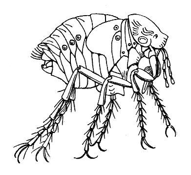 """Hectopsyllidae. Loppefamilien. """"Chiggers"""". Tilhører vinge-insektene, selv om alle artene er vingeløse. Middyr; lever i bol og reir til varmblodige dyr. Kan sette seg i alt fra neseganger til under tånegler. Opptrer i Norge på vertsindivider som har oppholdt seg i Afrika sør for Sahara, Sør-, Nord- og Mellom-Amerika."""