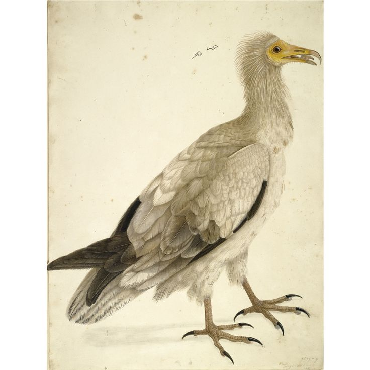 STUDY OF A GINGI VULTURE, FROM A SERIES OF NATURAL HISTORY DRAWINGS MADE FOR LORD VALENTIA, INDIA, CALCUTTA OR BARRACKPUR, CIRCA 1803