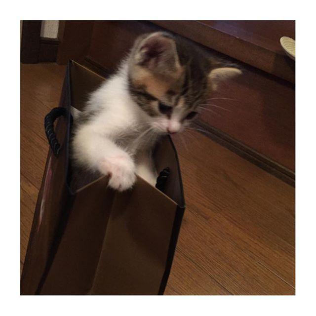 *** #ヨチヨチはなちゃん ③ * 袋の中に入れて遊ばれてるはな♡(笑) 動き回った結果ブレブレ(笑) * * #猫#ネコ#cat#愛猫#ノラ猫#はな#はなちゃん#hana#我が家のネコちゃん#我が家のはなちゃん#玄関ネコ#はな日記#babycat#babyhana#子猫