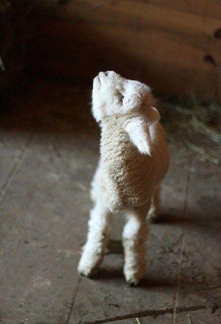 Tiniest lamb